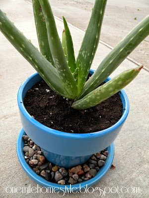 Aloe plant in bright blue flower pot