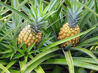 Agricultores do estado começaram a colheita da fruta. Vendas estão boas porque é época de entressafra em outras regiões.