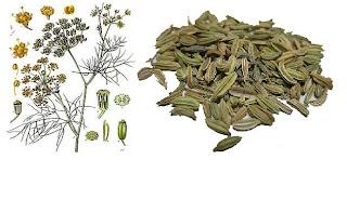 Gambar tanaman biji adas dan manfaatnya