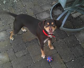 small beagle mix dog