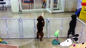 HILARIOUS VIDEO OF POODLE DANCING WITH JOY