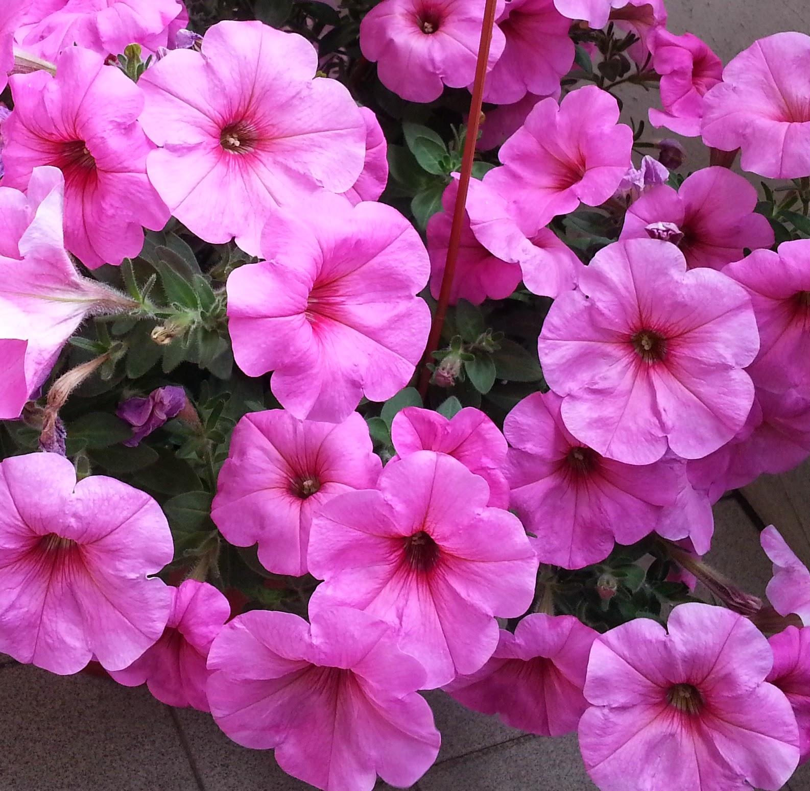 Fiori fiori aprile 2014 for Petunie perenni