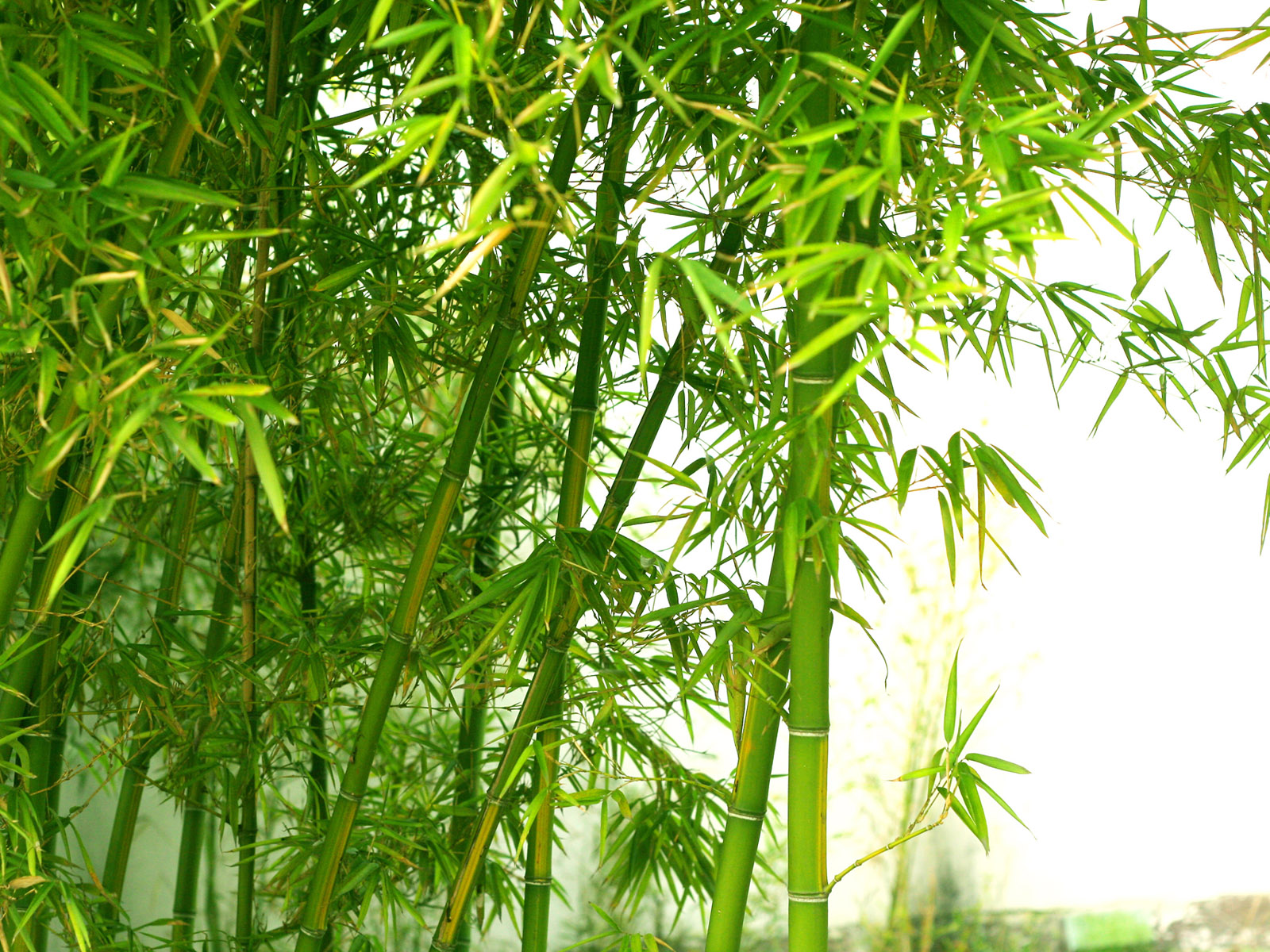 total hd wallpapers: bamboo tree wallpapers hd