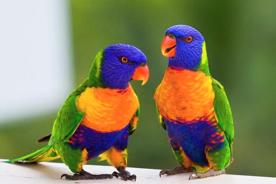 [Image: Rainbow-Lorikeet-Australian-Parotts.jpg]