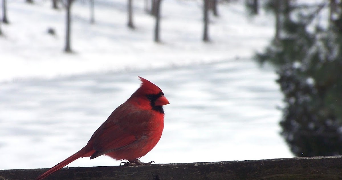 Kitchen Cardinal Decor