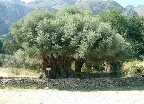Για την UNESCO ταξιδεύει η μινωική ελιά του Καβουσίου