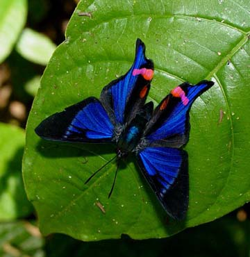 butterfly exotic tropical insect - photo #29