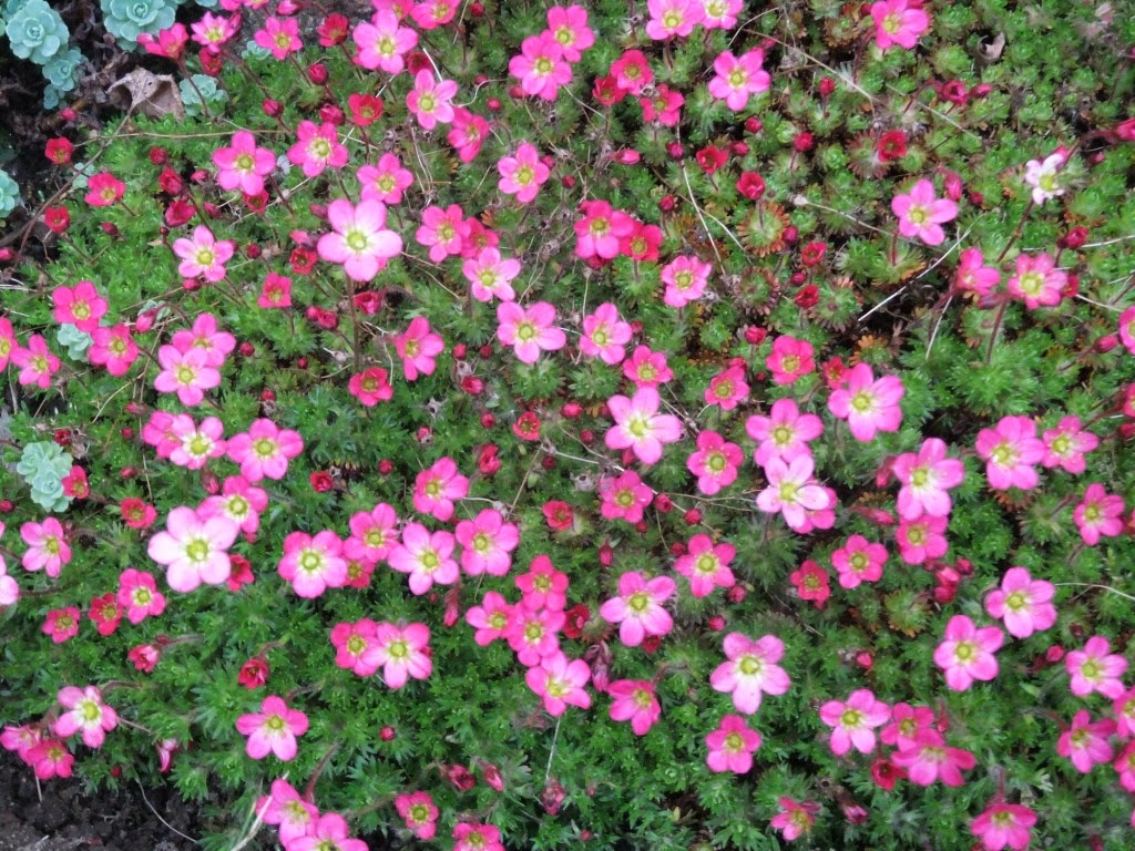 Steingartenblumen im Frühling