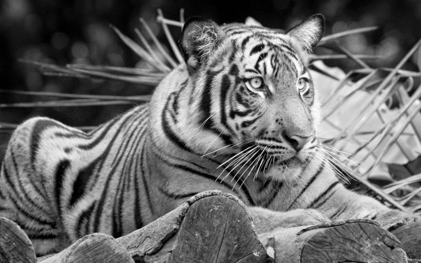 Im genes en blanco y negro de felinos fotos bonitas de for Imagenes bonitas en blanco y negro