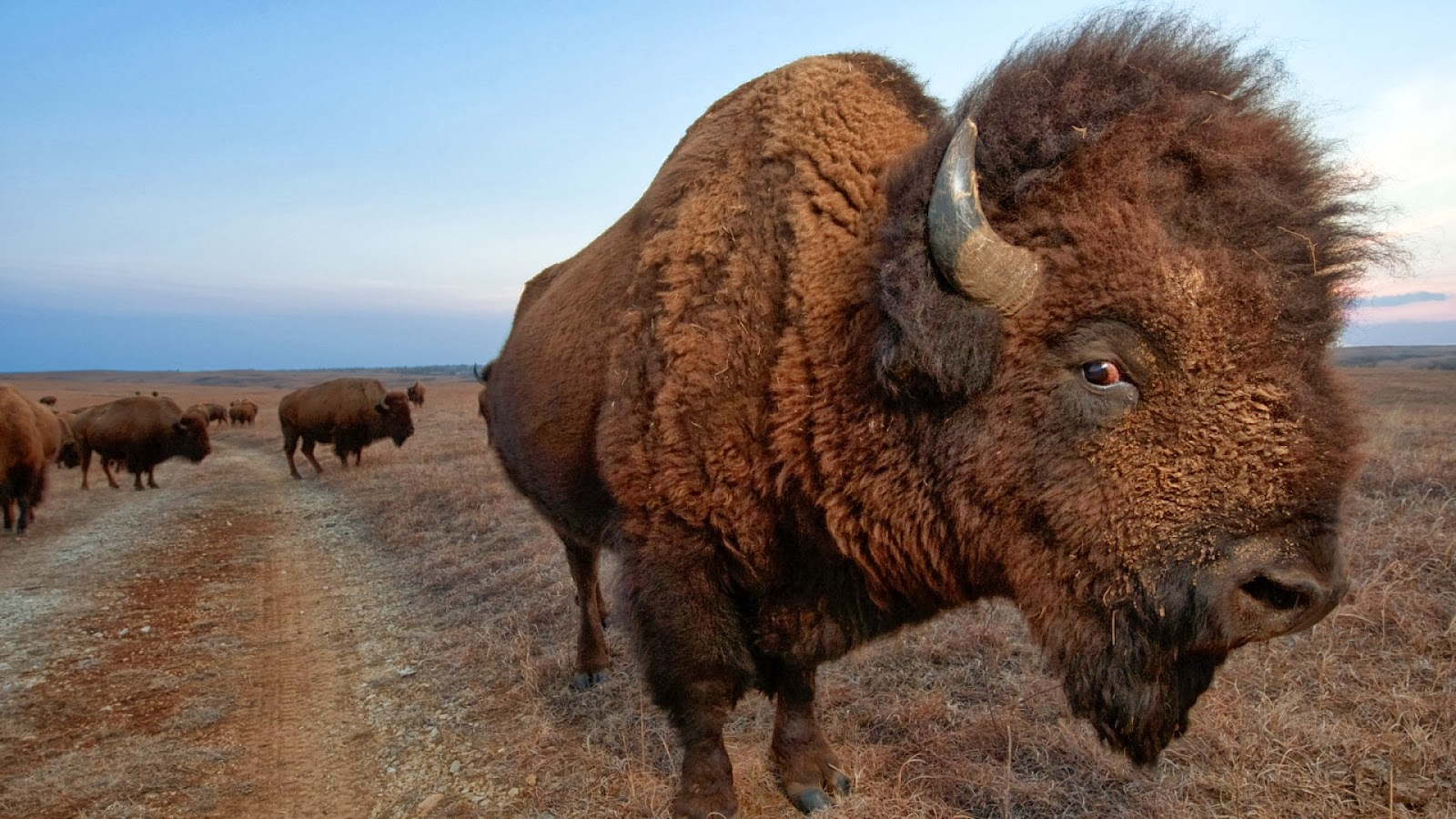 Desktop HD Wallpapers Free Downloads: American Bison HD ...