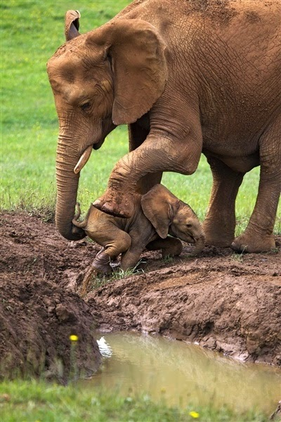 A mother's determination: Elephant rescues baby trapped in mud