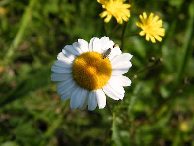 flor-manzanilla