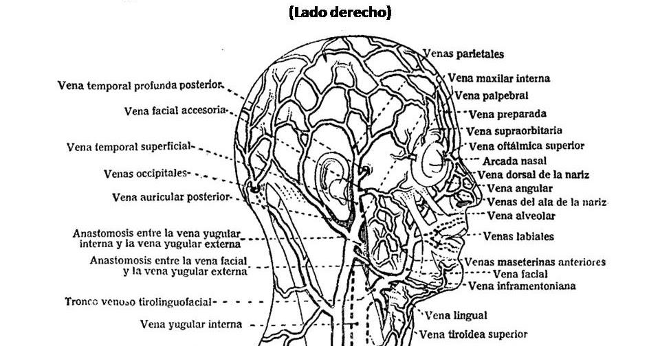 ATLAS DE ANATOMÍA HUMANA: 134. VENAS SUPERFICIALES DE LA CABEZA Y ...