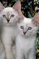 Pet Wallpapers Cat