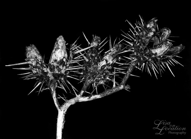 365 photo project, macro thorny seed pod, Lisa On location photography. New Braunfels, Austin, San Marcos, San Antonio. Karl Blossfeldt