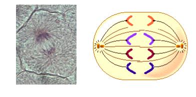 Placa celular biologia