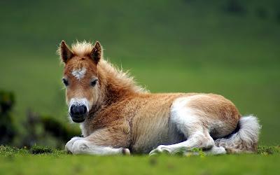 Pequeño caballo descansando en el prado