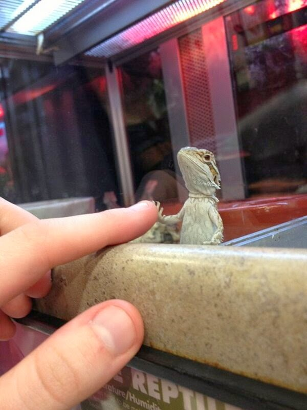 Funny animals of the week - 21 March 2014 (40 pics), funny animal pictures, lizard