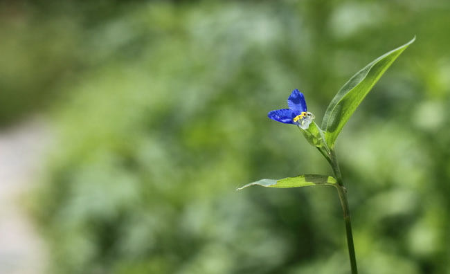 Asiatic Dayflower Pictures