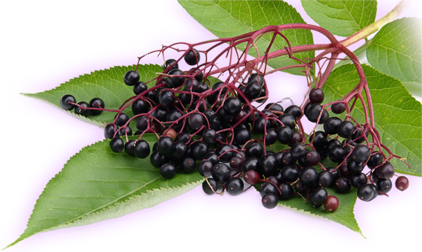 Boost Your Immunity Naturally with Elderberry
