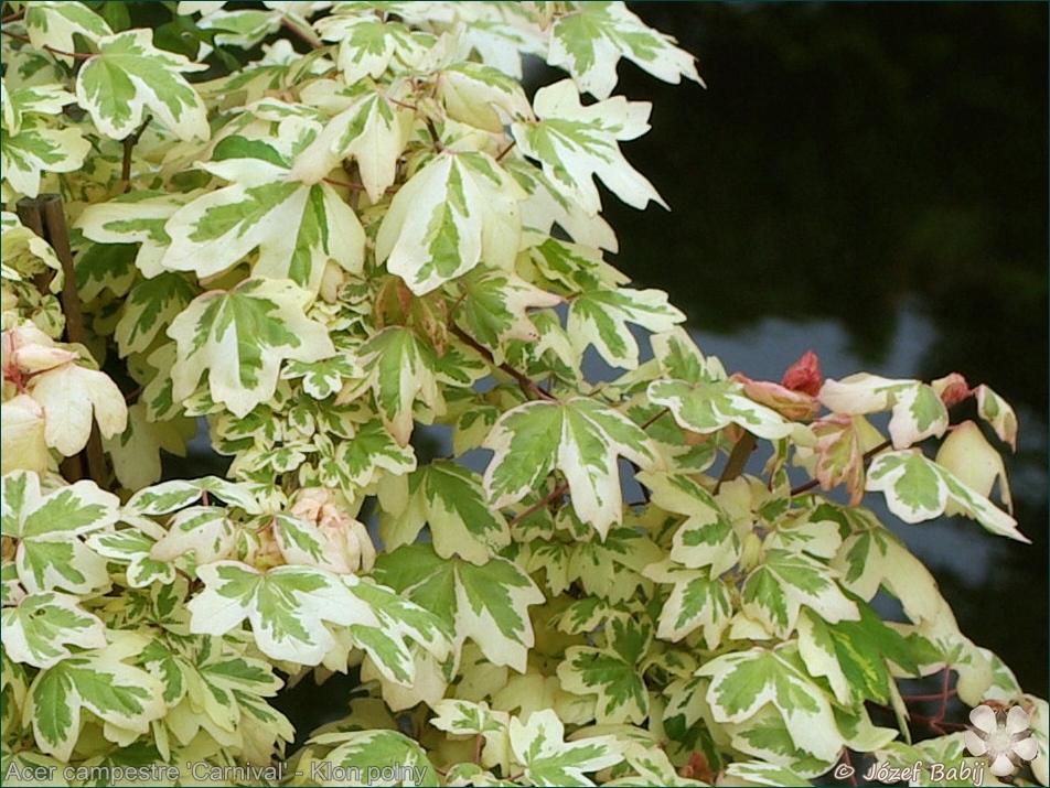 Acer campestre 'Carnival' - Klon polny 'Carnival'