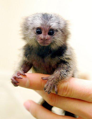 Marmoset Monkey | Fun Animals Wiki, Videos, Pictures, Stories