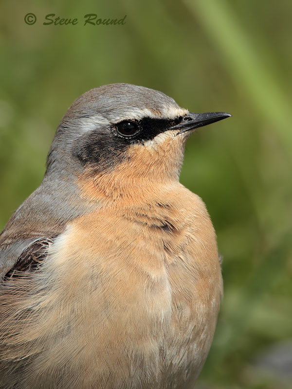 wheatear, bird, wildlife, nature