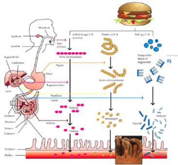 kroppens fordøjelsessystem