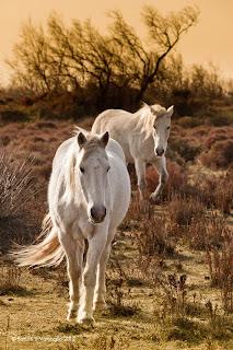 Cavalli bianchi al galoppo in camargue