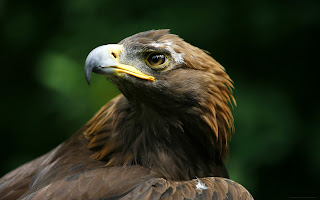 free eagle hd wallpaper 2013