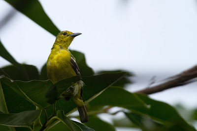 Photograph of a female Common Iora taken in Thalangama, Sri Lanka