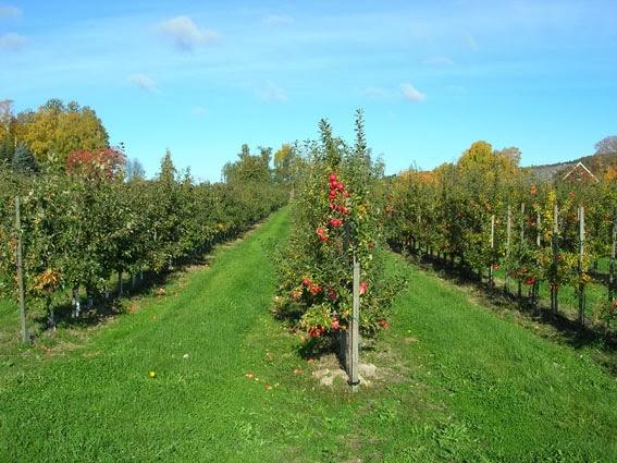 Filari di mele a Vånga