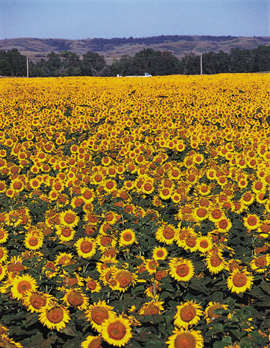 sunflower field picture blooming - photo #43