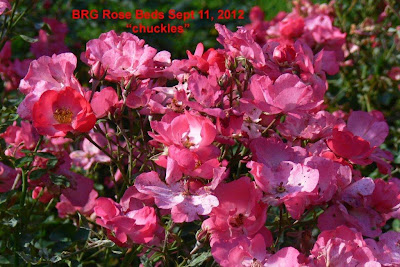 Deep pink clusters of Chuckles roses bloom all summer and into fall.