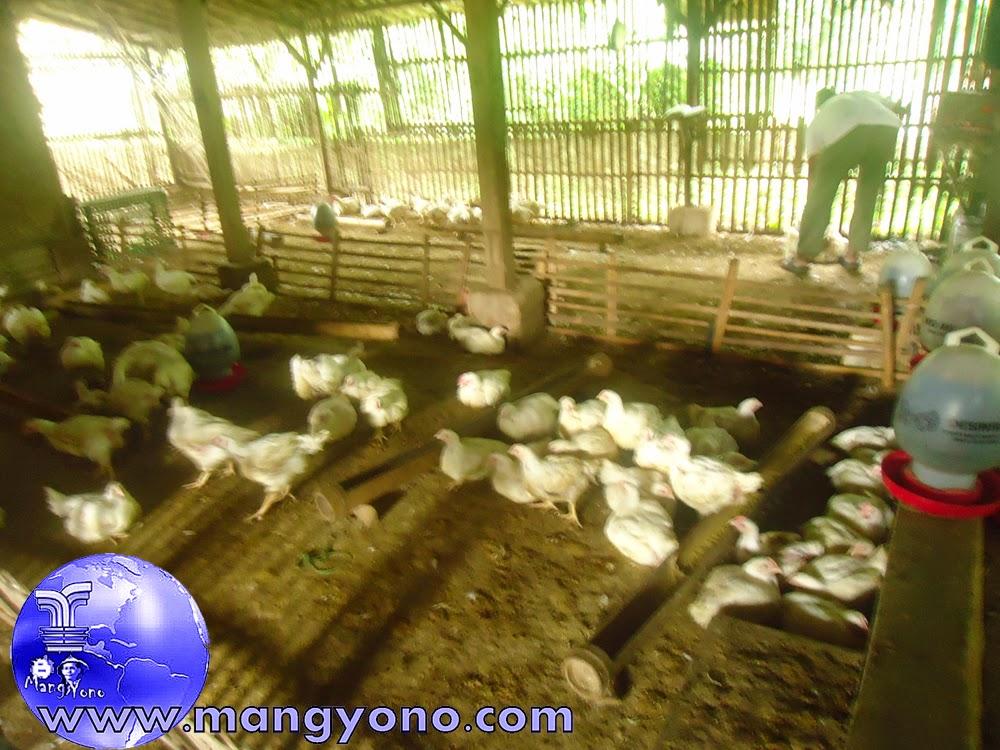 Beternak ayam Broiler atau ayam Negeri tidak musti bersekala besar.