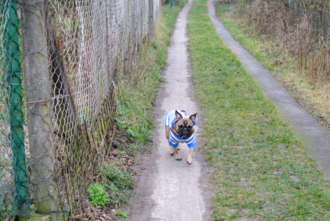 French Bulldog Walk
