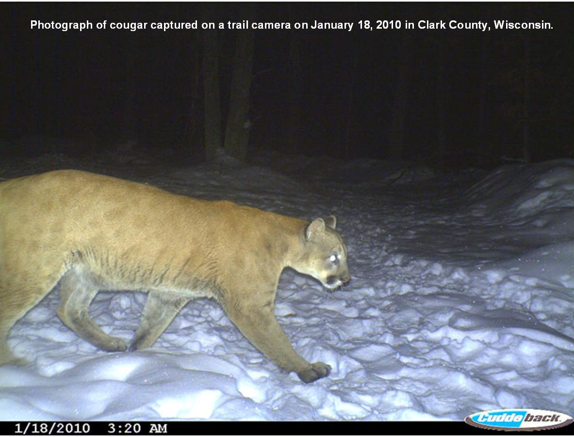 World S Largest Mountain Lion | New Calendar Template Site