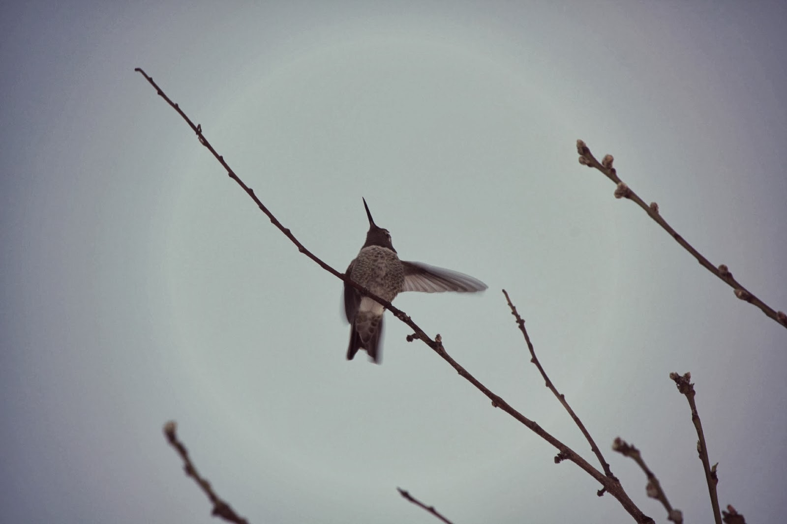 http://www.hummingbirdsociety.org/index.php
