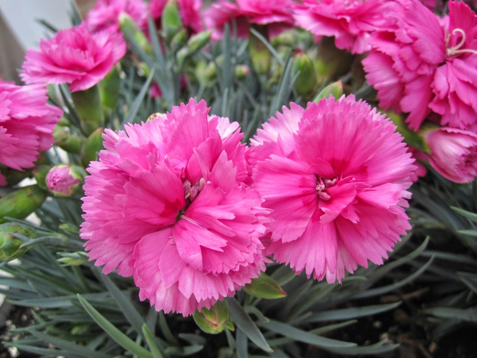 Taman Bunga Bunga Anyelir Dan Manfaatnya