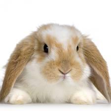 ternak kelinci, cara merawat kelinci, cara beternak kelinci, budidaya kelinci, cara memelihara kelinci, kelinci hias