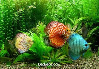 Jenis Ikan Hias Air Tawar Paling Populer