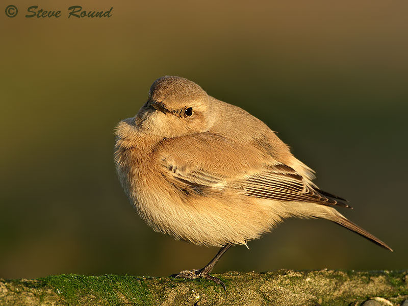migrant, rare, nature, wildlife, bird UK