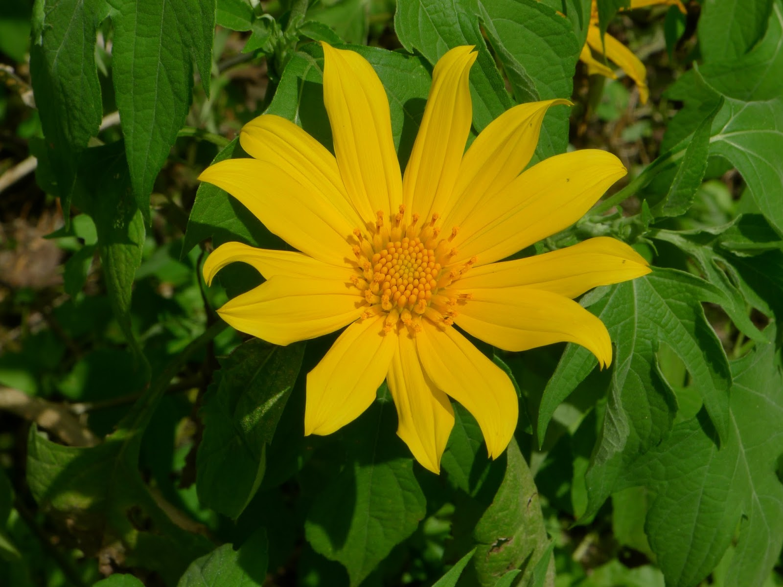Coffs harbour garden club weeds japanese sunflower have you noticed the abundant yellow flowers growing up the steep slopes that were once banana plantations at korora and other places along the coffs coast mightylinksfo