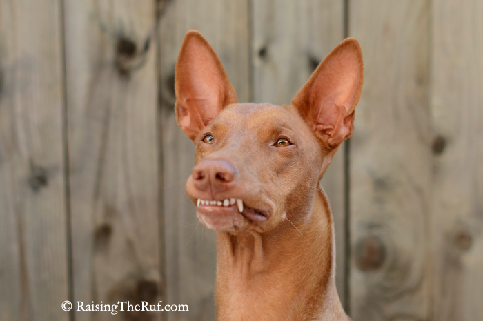 funny dog stuck lip