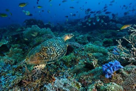 Terumbu karang pulau derawan