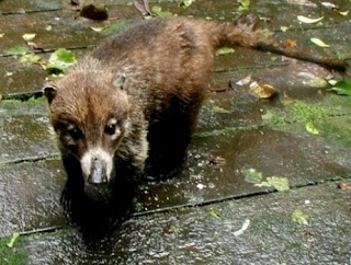 young coati at the back door
