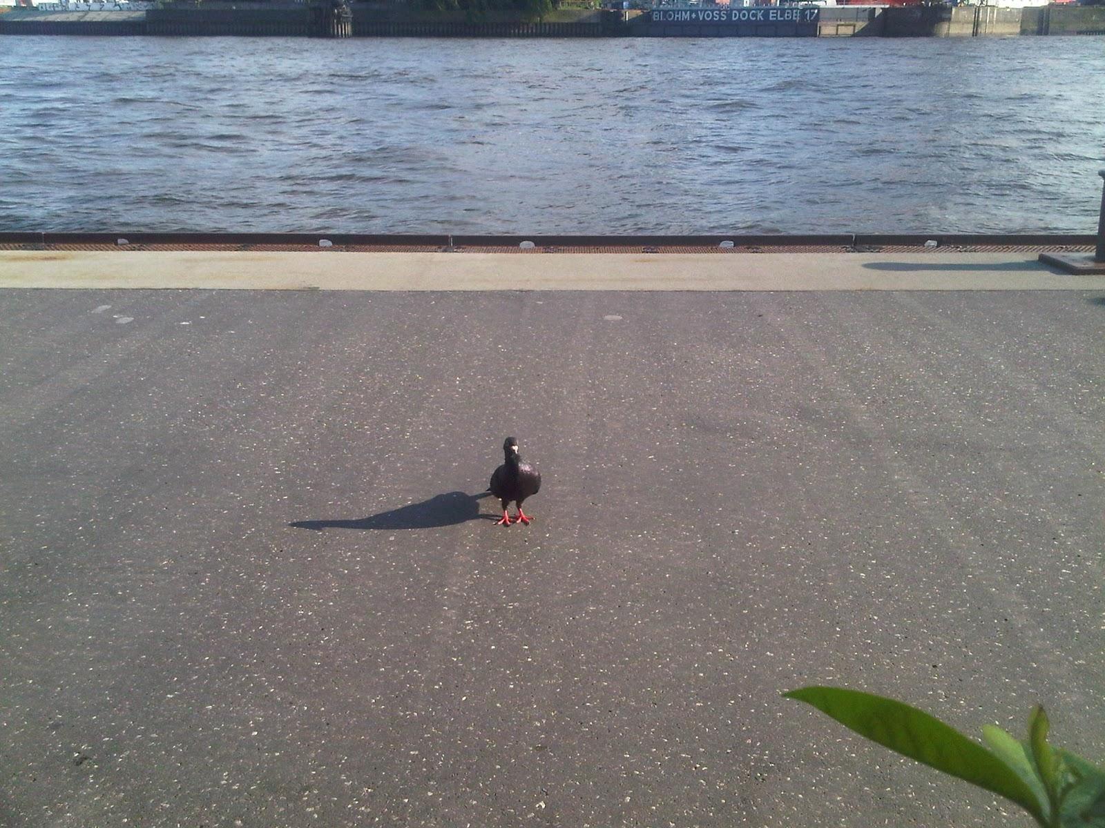 Schwarze Taube auf den Landungsbrücken mit glänzenden Federn in der Sonne.