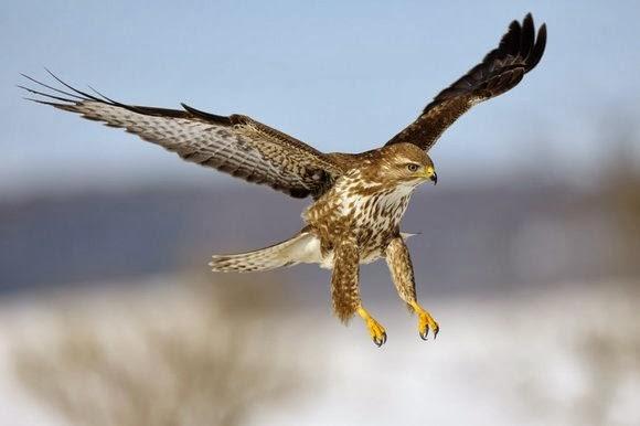Ratonero Volando