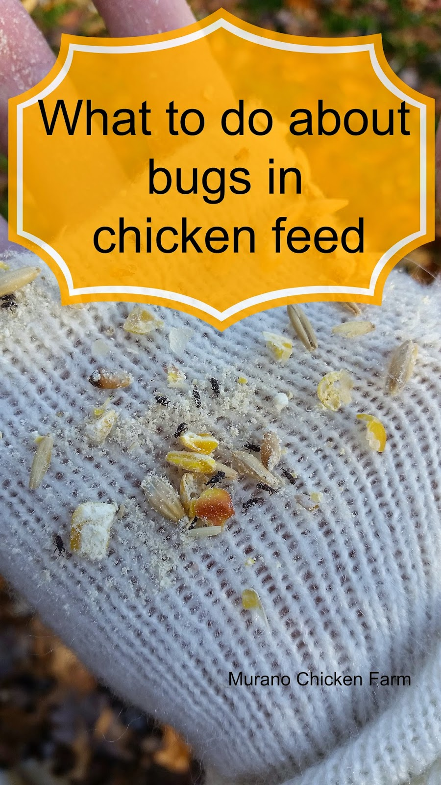 What to do about bugs in the chicken feed