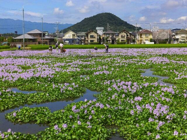 大和三山の一つ畝傍山(うねびやま)とホテイアオイの花。